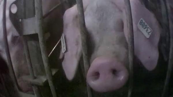 Kgo-pig-undercover-062811-600