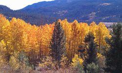 Fall Foliage - Markleeville